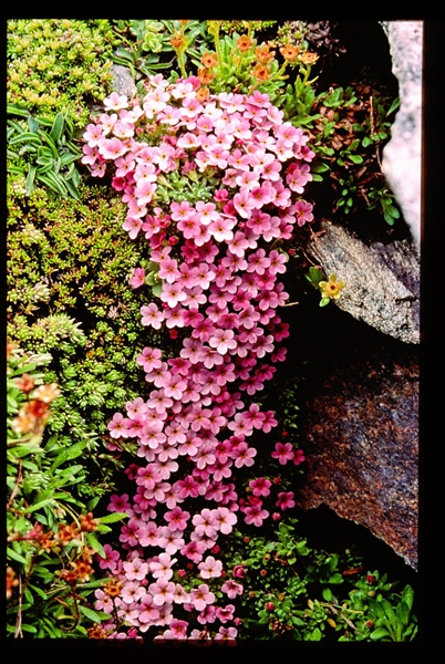 Androsace alpine - Androsace alpina (Primulacées).